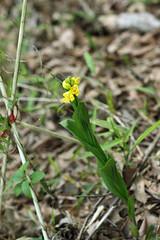 新治市民の森のキンラン(Orchid, Niiharu Community Woods)