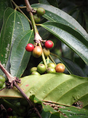 Coffea robusta, fruits
