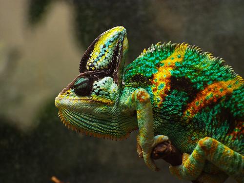 Chamaeleo calyptratus by ChaosHusky, on Flickr