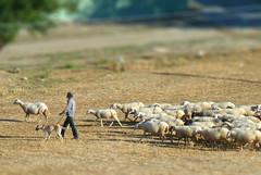 Anatolian shepherd, Tiltshifted - Original pho...