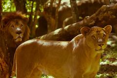 Leones Africanos, en la Fundación Refugio Salv...
