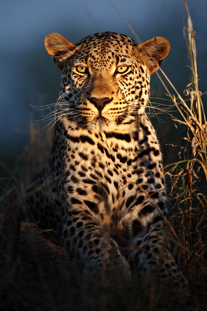 Leopard of the Night