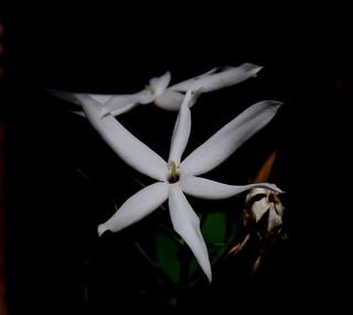 ecosystem/flora/Wild Jasmine(Jasminum malabaricum)