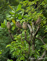 Family united: the four owls