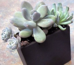 Succulents Arrangement  - Lisa Greene, AAF, AIFD, PFCI