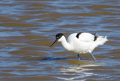 Avocet with lunch
