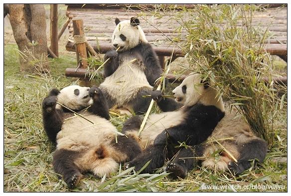 [成都]大熊貓繁育基地~必遊景點之一.可愛的小熊貓 @VIVIYU小世界