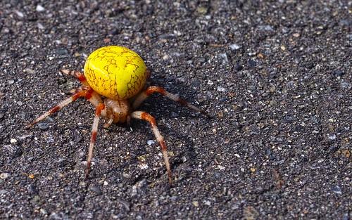 キバナオニグモ♀がいた Araneus marmoreus