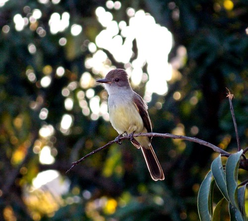 (Gustavo Allves) bird nikon pssaro coolpix nikoncoolpix l810 coolpixl810