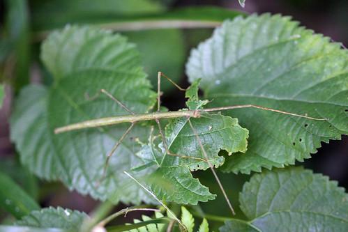 新治市民の森のナナフシモドキ(Phasmatidae at Niiharu Community Woods, Yokohama, Japan)