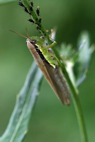 寺家ふるさとの森のコバネイナゴ(Grasshopper, Jike Home Woods, Yokohama, Japan)