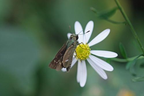寺家ふるさとの森のイチモンジセセリ(Butterfly, Jike Home Woods, Yokohama, Japan)