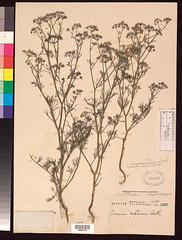 Trachyspermum ammi (Daucus anisodorus, IS) US6...