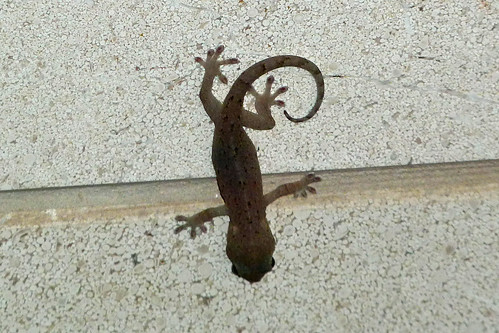 ヤモリ(Gecko at Yokohama, Japan)