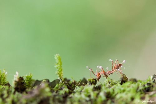 Zombie Ant - Ophiocordyceps Fungus infection