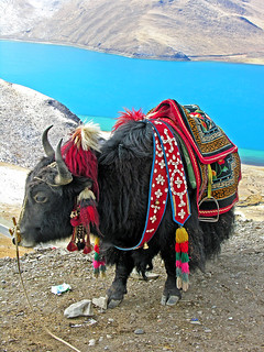 Tibet-5811 - Tibetan Yak all dressed up.......