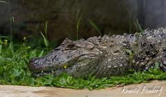 The crocodile's smile