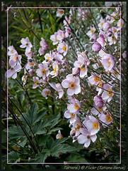 Анемона японская - Japanese Anemone (2 photos)