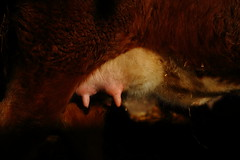 An Udder Cow Picture, 26 December 2012