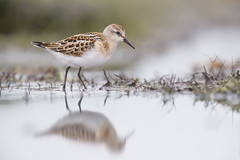 Little Stint | småsnäppa | Calidris minuta