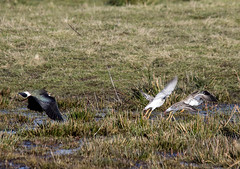 Lapwing chases off group of Ruff