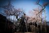 Photo:Ω2: The Ancient Sakura of Yamataka By