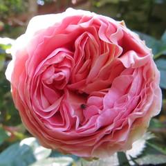 """Au jardin, rose """"Pierre de Ronsard"""",..."""