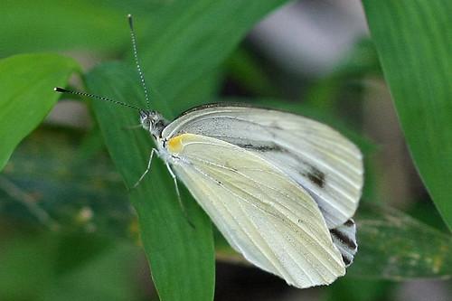 新治市民の森のモンシロチョウ(Butterfly at Niiharu Community Woods, Yokohama, Japan)