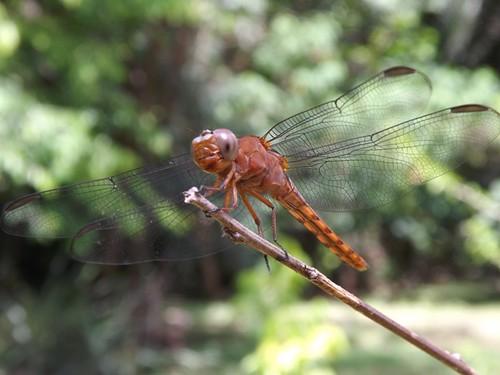 Wandering Glider  Dragonfly - Pantala flavescens