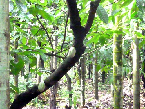 Cacao tree with fruit