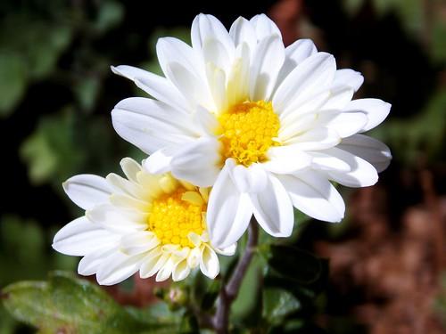 (Gustavo Allves) flower nature nikon sweet cut flor coolpix nikoncoolpix l810 coolpixl810