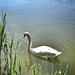 "Swan • <a style=""font-size:0.8em;"" href=""http://www.flickr.com/photos/63784922@N07/8038749472/"" target=""_blank"">View on Flickr</a>"