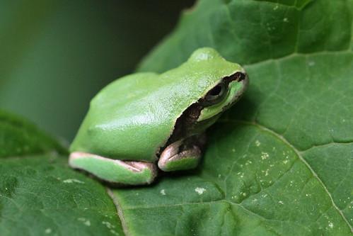 寺家ふるさとの森のアマガエル(Frog, Jike Home Woods, Yokohama, Japan)