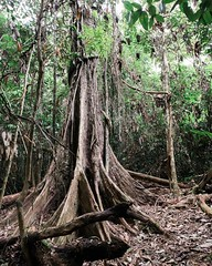 Day 520. The Noya Rao tree was long thought extinct, but one was found a few years ago. It's a sacred tree to the Shipibo people and is referred to as The Tree of Light. Why? Well because at night it's dropped leaves glow blue. #theworldwalk #travel #peru