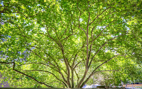 Large Green Tree near Belmore Park Sydney CBD