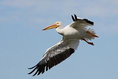White Pelican Wingspan