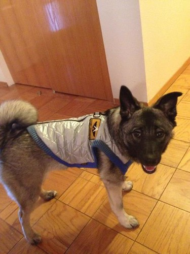 Dog Dressed as Air Force Pilot