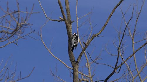 Downy Woodpecker, Male