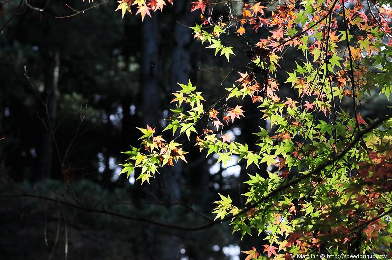 福壽山農場楓紅-10