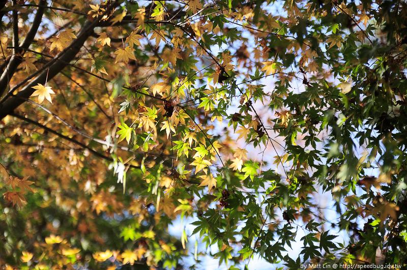 福壽山農場楓紅-23