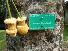 20121202_HoomaluhiaBG_ParkiaTimoriana_Cutler_P1380027 (wlcutler) Tags: hawaii kaneohe fabaceae hoomaluhiabotanicalgarden Parkia timoriana