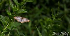 Craquelured wings