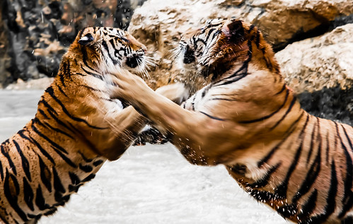 Tigers fight