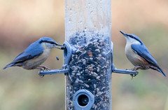 Two nuthatches