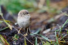 Asian Desert Warbler | ökensångare | Sylvia nana