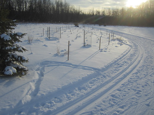 The new ski trail edges next to the various tree and shrub plantings