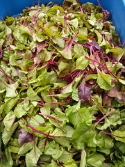 "Beet Greens • <a style=""font-size:0.8em;"" href=""http://www.flickr.com/photos/61175668@N08/16658812228/"" target=""_blank"">View on Flickr</a>"