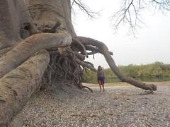 Mini Racines de Baobab