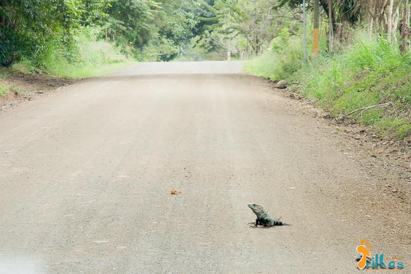 Iguana no caminho para a Playa Carrillo, na Costa Rica