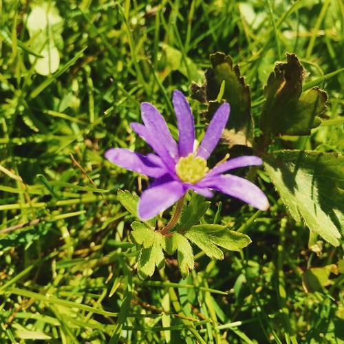 #lila #Blume